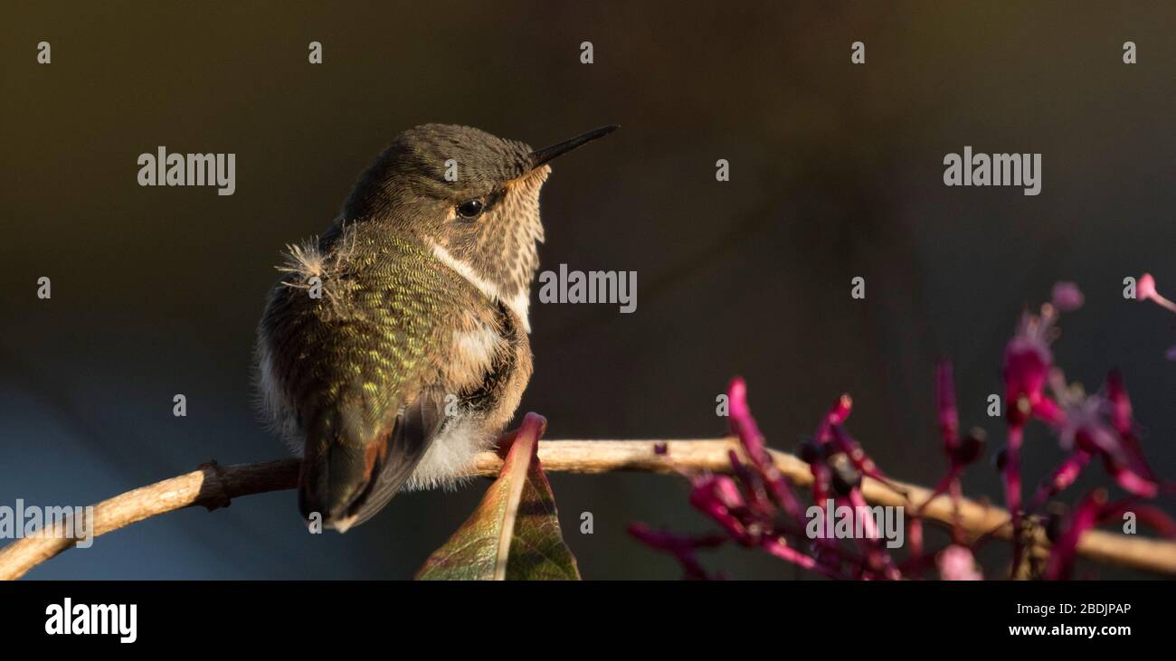 cute juvenile hummingbird Stock Photo