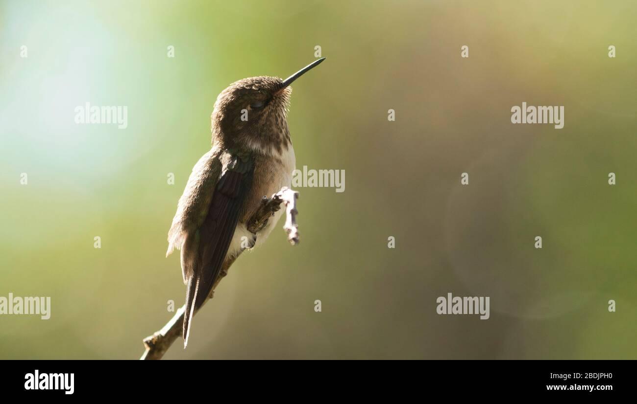Backlit volcano hummingbird Stock Photo