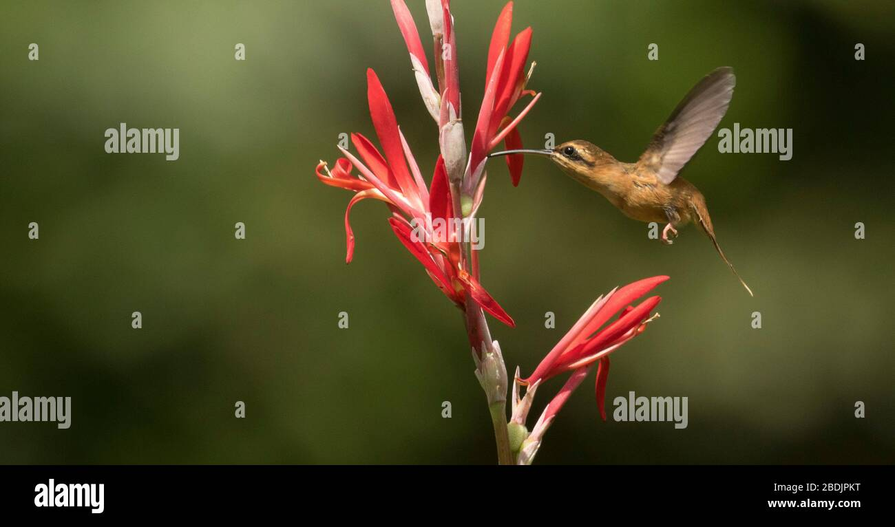 flying hermit hummingbird Stock Photo