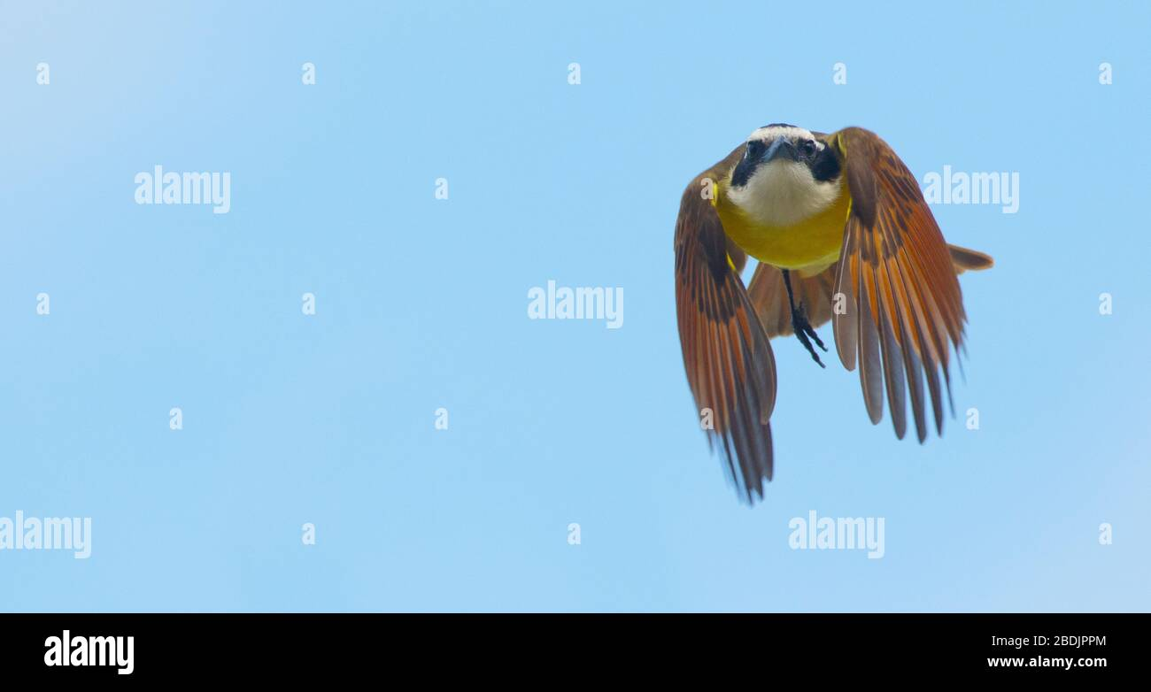great kiskadee flying straight at you Stock Photo