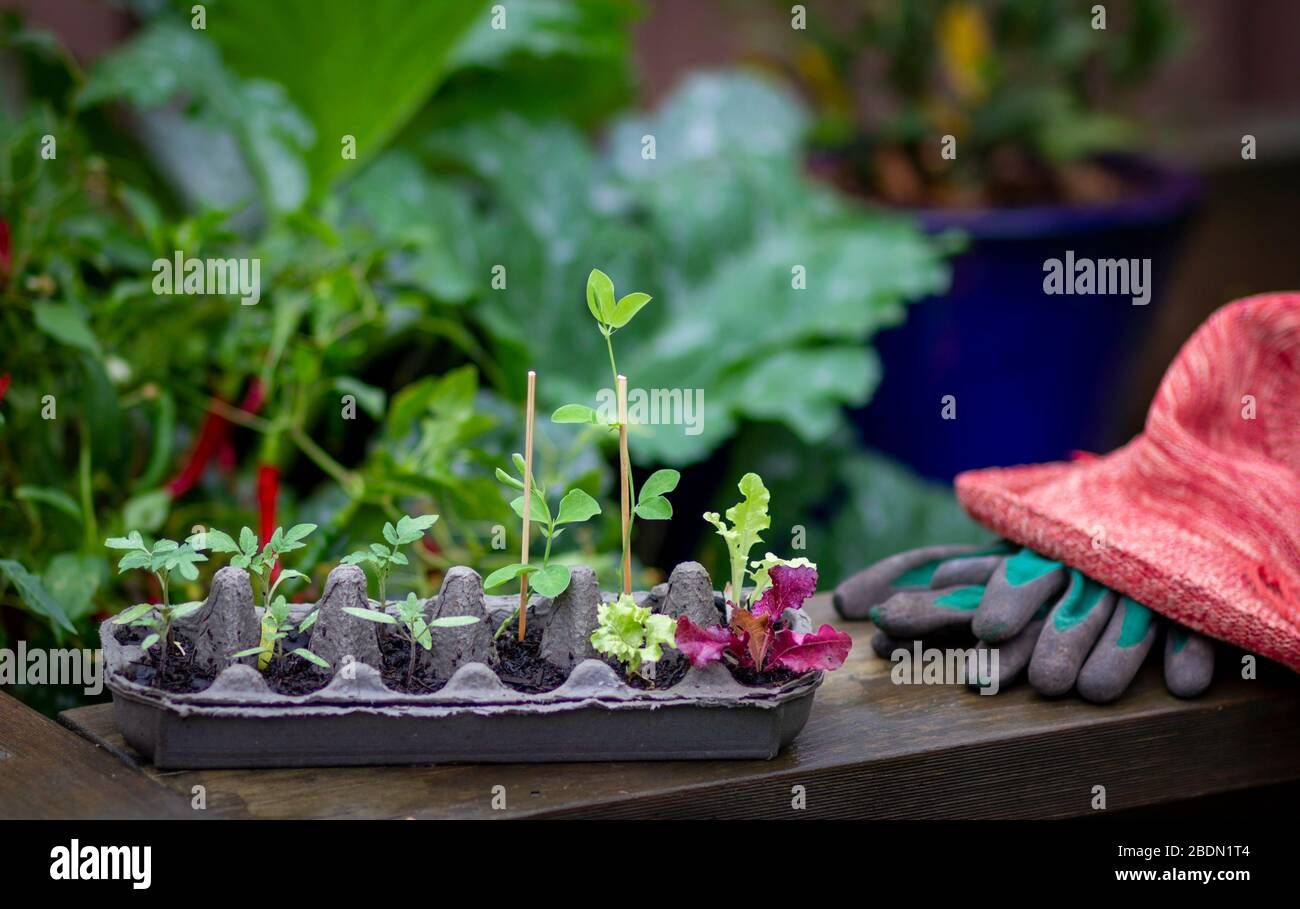 Vegetable Seedlings Growing In Reused Egg Box Outside On Raised Garden Bed Recycle Reuse To Reduce Waste And Grow Your Own Food Stock Photo Alamy