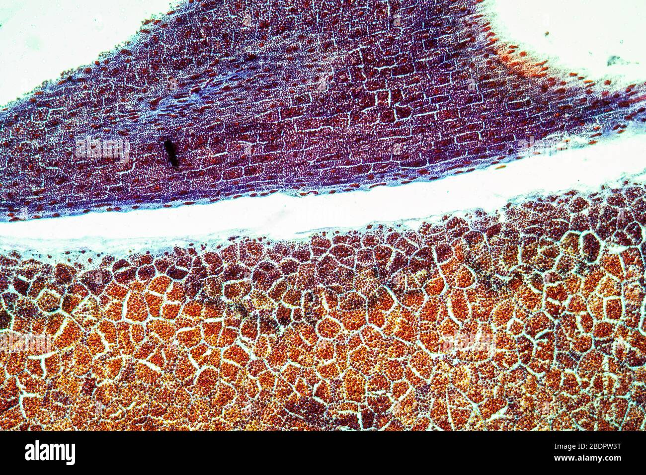 Embryo with endosperm across 100x Stock Photo