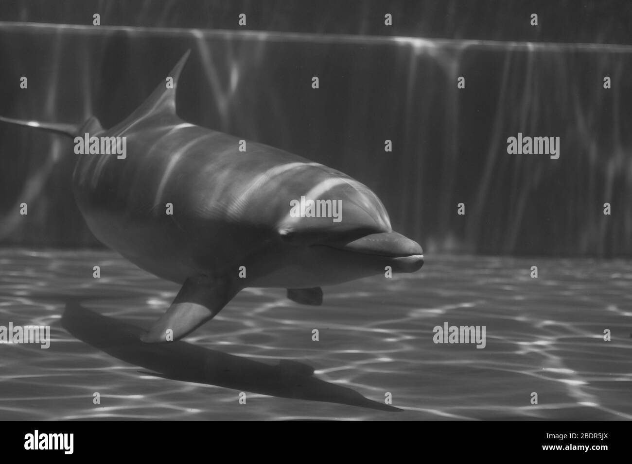 Dolphins underwater at the Genova aquarium Stock Photo
