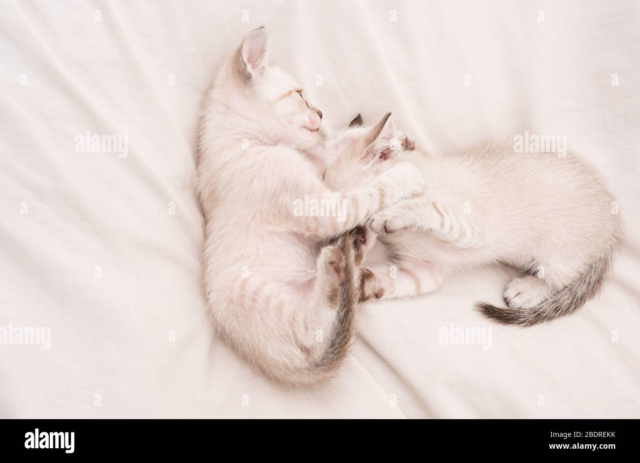 Cozy Home Small Cute Kittens Relax On White Sheets Baby Cat Cute White Kittens Tender And Lovely White Kittens Playing With Each Other Best Friends Cat Family Pets Concept Share Love Stock