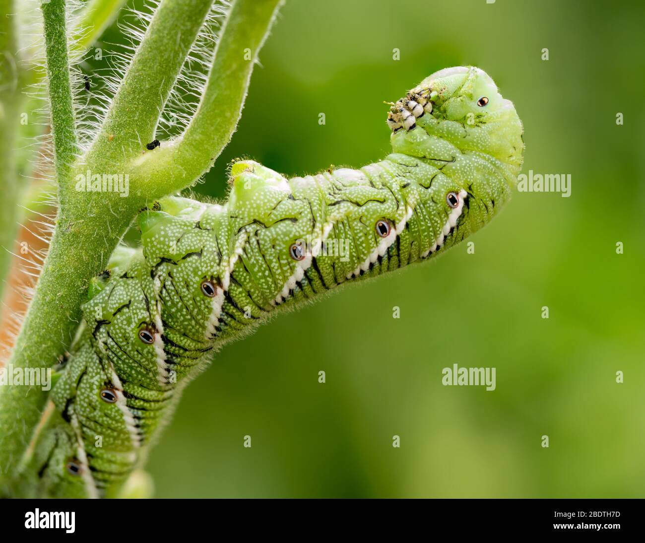 Tomato hornworm, Manduca quinquemaculata, close up showing the caterpillar eating while leaning back on a tomato plant stalk Stock Photo