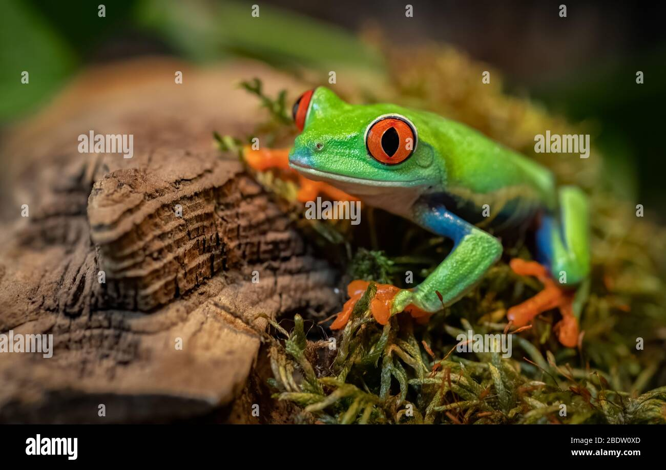 Red-eyed tree frog i Costa Rica Stock Photo
