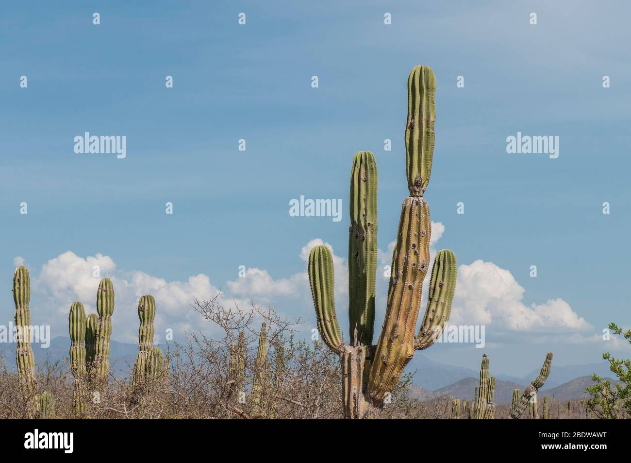 Endemic cactus in the region of the Baja California Sur State, near Todos Santos, in Mexico. Stock Photo