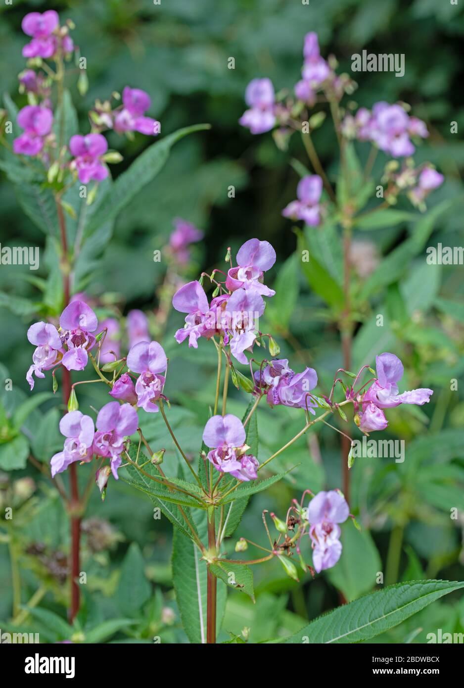 Flowering glandular balsam, Impatiens glandulifera Stock Photo
