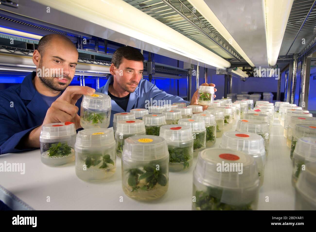 Genetically-Engineered Plums Stock Photo