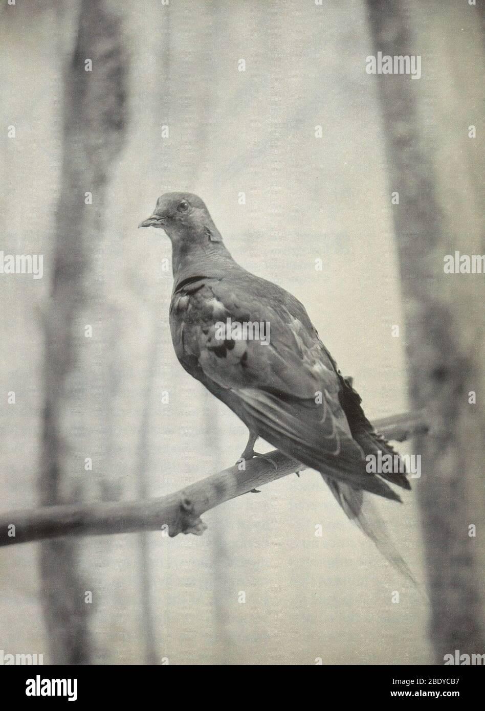 Martha, Last Known Passenger Pigeon Stock Photo