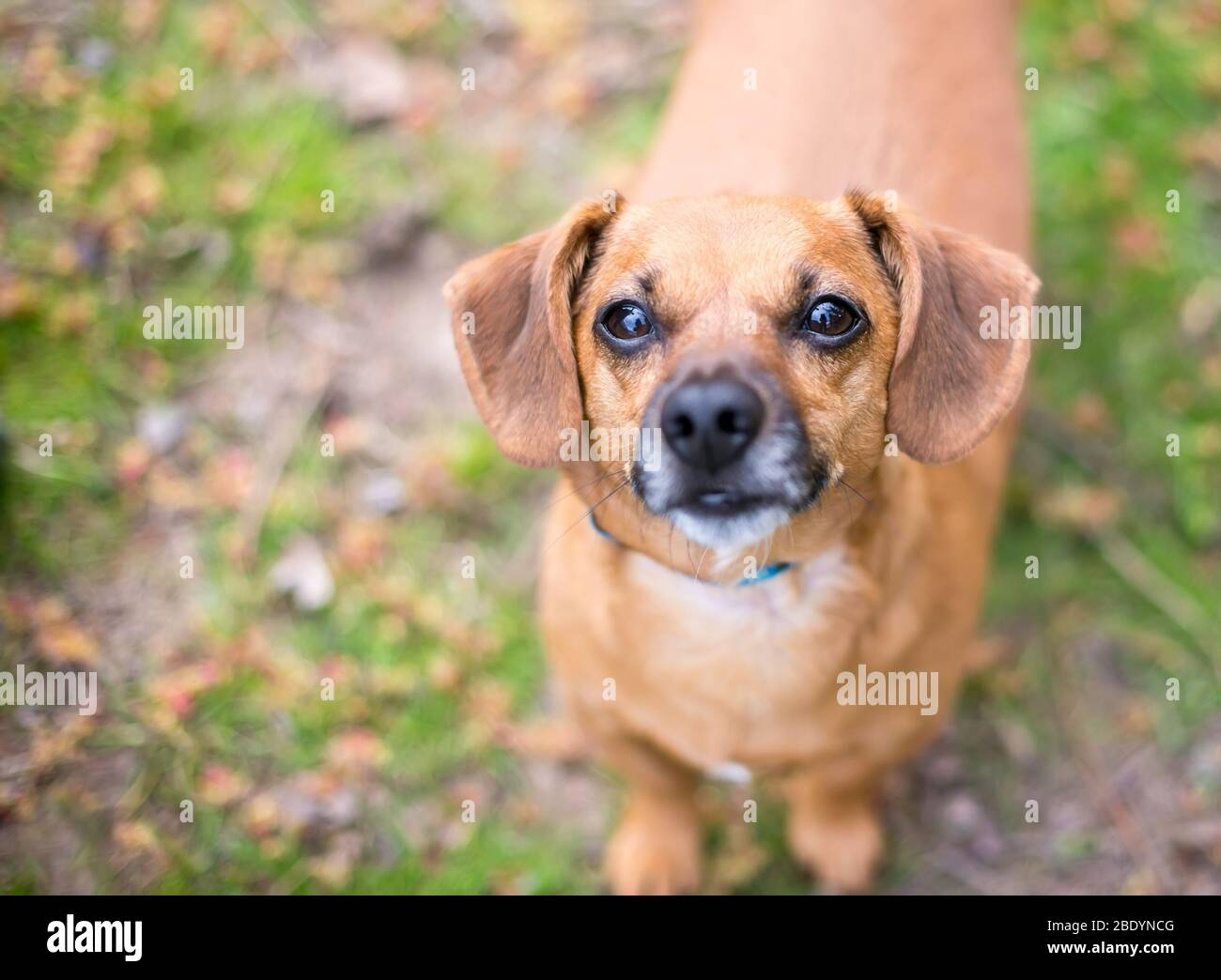A cute red Dachshund mixed breed dog looking up at the camera Stock Photo