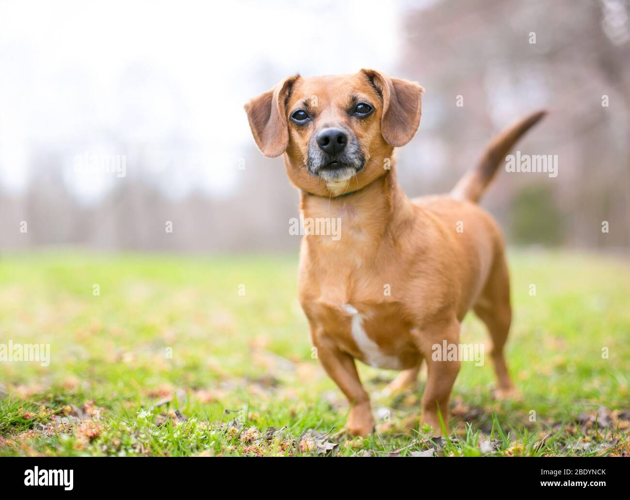 A cute red Dachshund mixed breed dog standing outdoors Stock Photo