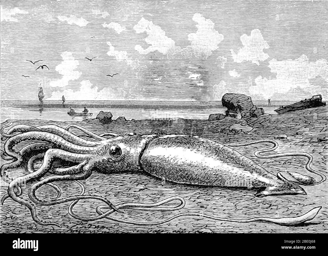 The giant squid (genus Architeuthis) is a deep-ocean dwelling squid in the family Architeuthidae. Giant squid can grow to a tremendous size due to deep-sea gigantism: recent estimates put the maximum size at 43 feet for females and 33 feet for males from the posterior fins to the tip of the two long tentacles. The mantle is about 6.6 feet long (more for females, less for males), and the length of the squid excluding its tentacles (but including head and arms) rarely exceeds 16 feet. Claims of specimens measuring 66 feet or more have not been scientifically documented. Tales of giant squid have Stock Photo