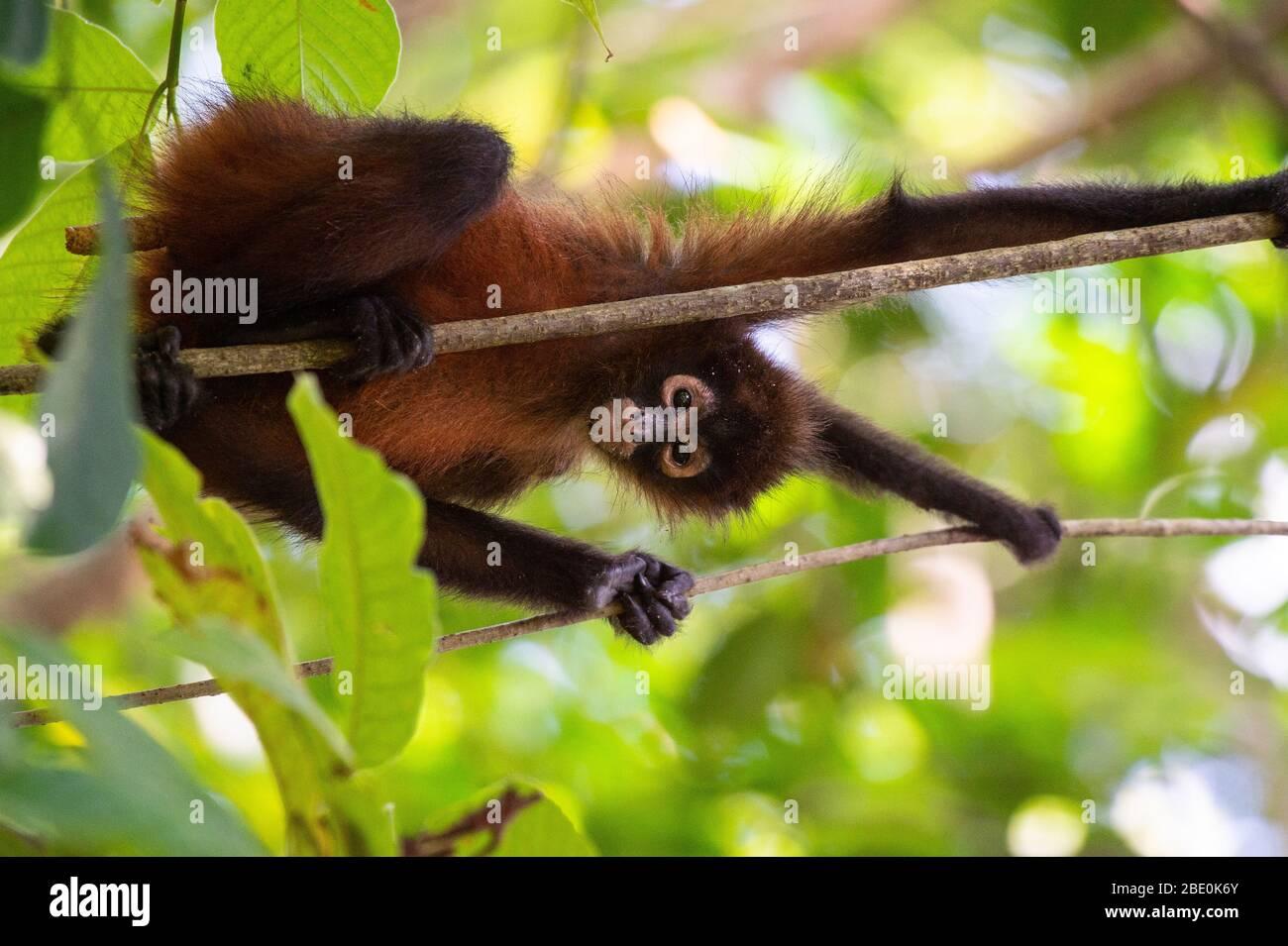 Central American Spider Monkey, Ateles geoffroyi, Cebidae, Corcovado National Park; Osa Peninsula; Costa Rica; Centroamerica Stock Photo