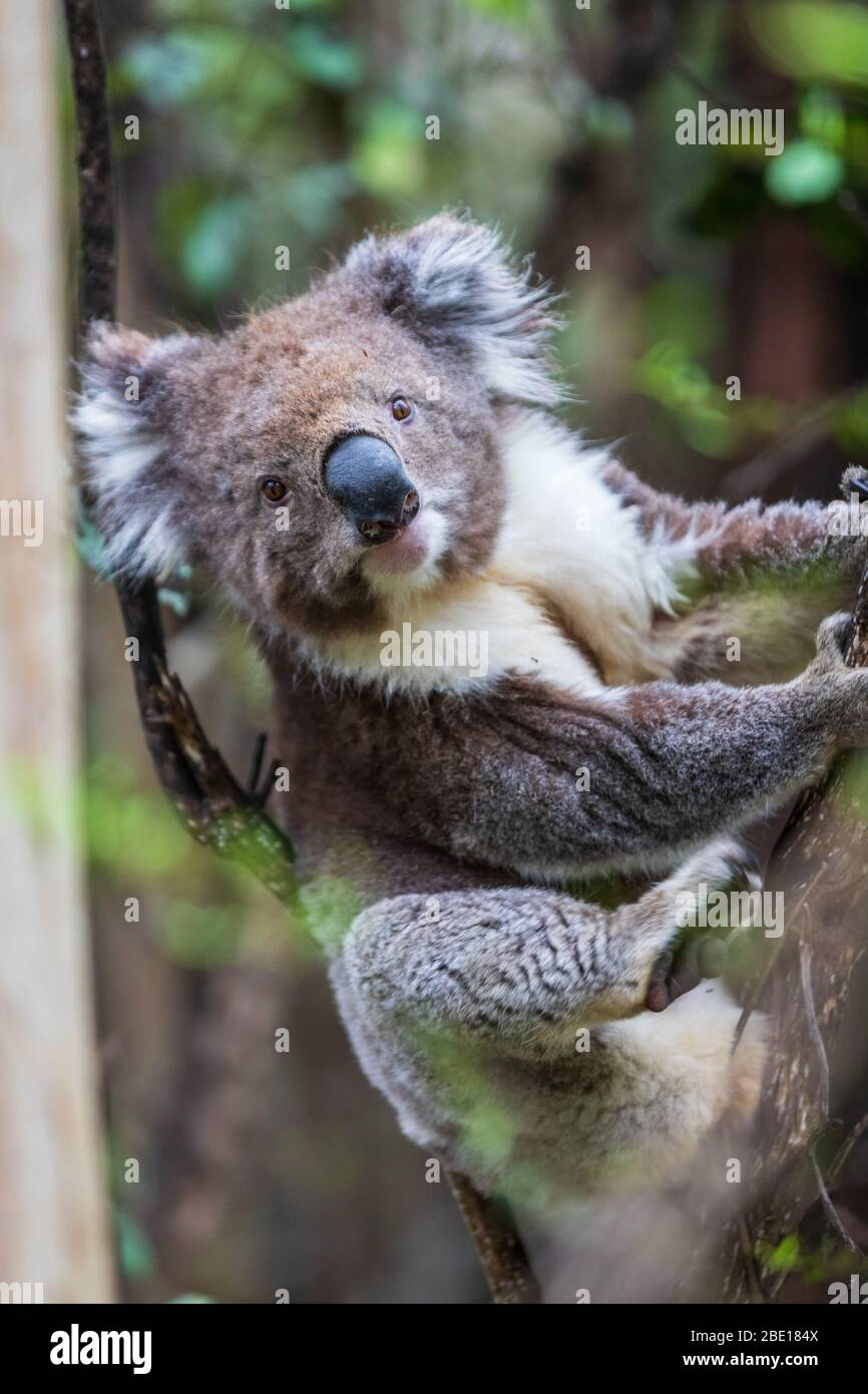 Close up portrait of a wild Koala, Great Otway National Park, Australia Stock Photo