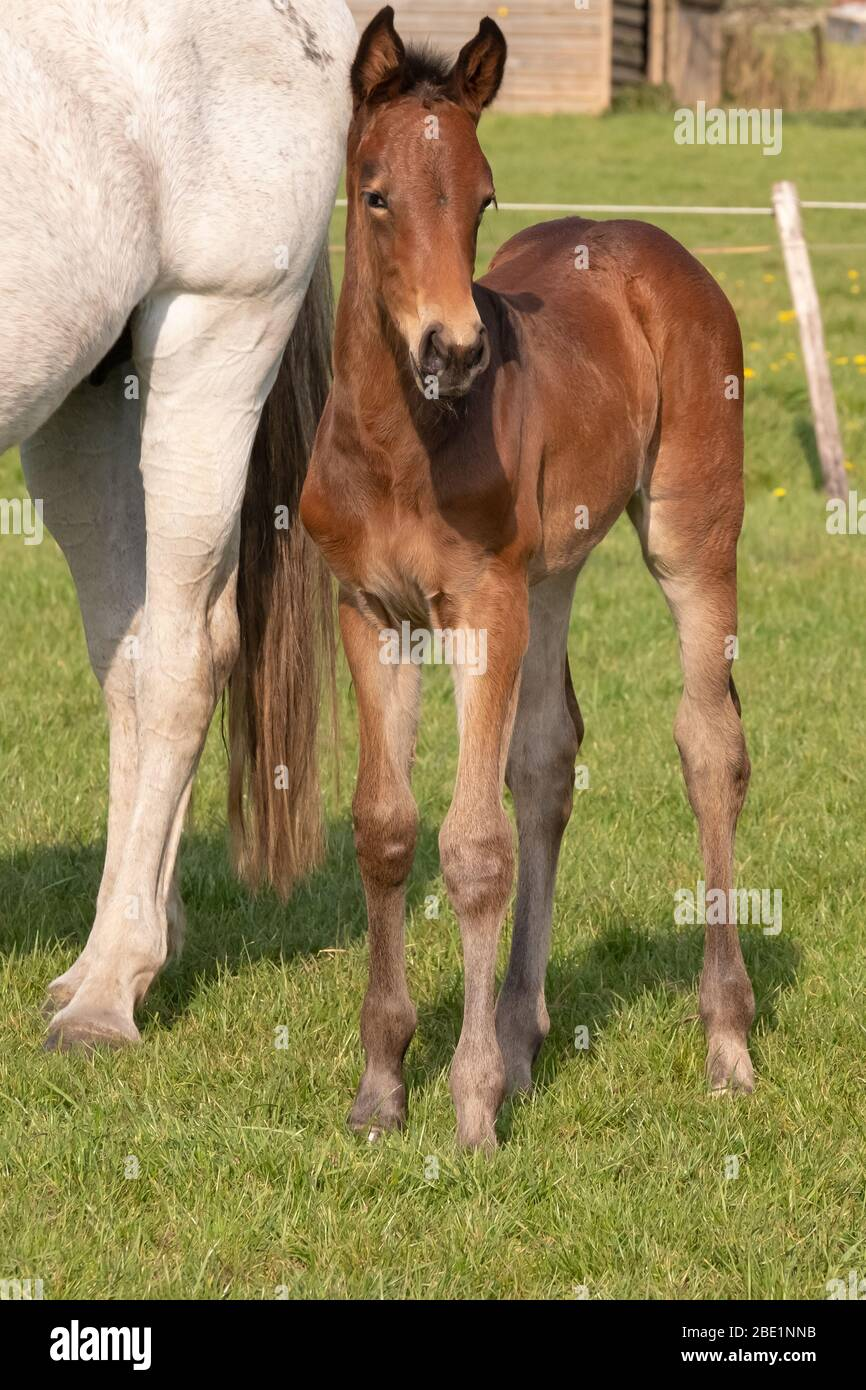 A Baby Horse With Mother Standing On Grass Foal Is Looking At Camera Stock Photo Alamy