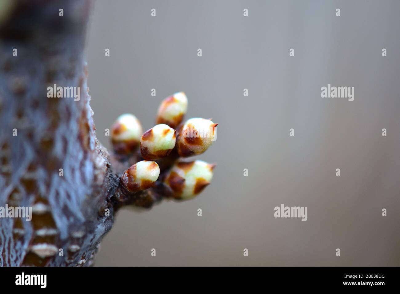 Buds on the tree branch. Bunch of oculuses. Macro. Copy-space. Stock Photo