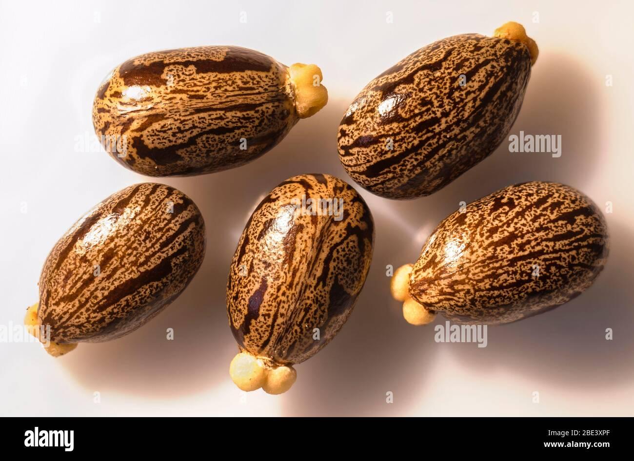 Ricinus Communis Seeds Stock Photo Alamy