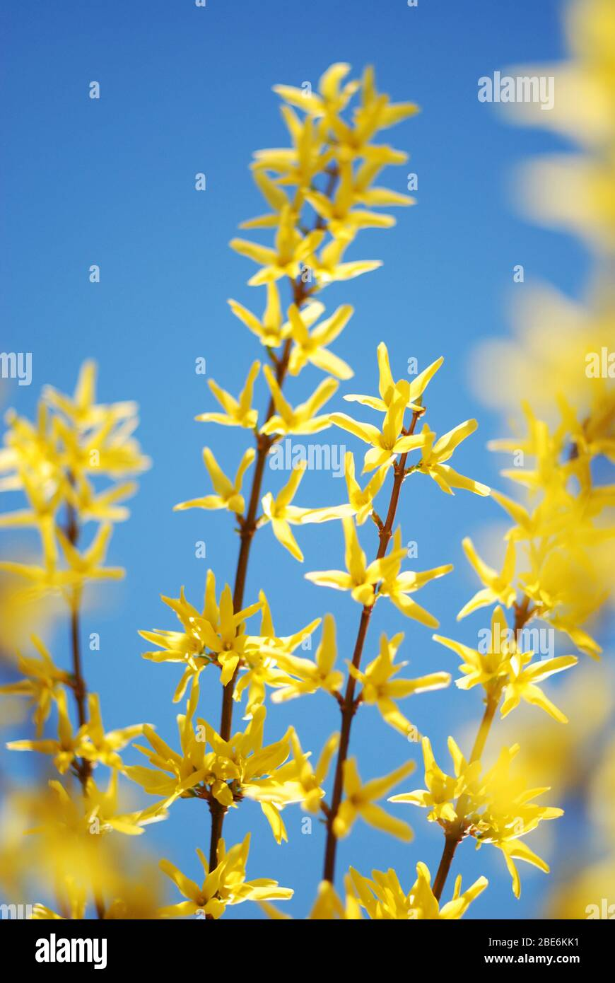 Forsythia Bush Yellow Blooming In Spring Time Stock Photo
