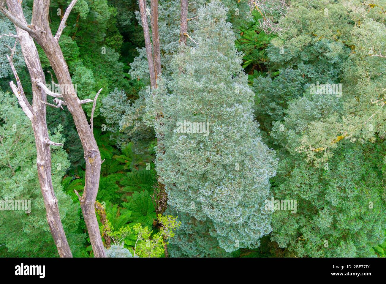 Typical Australian rainforest  with tall eucalyptus and other trees forming canopy over forest below. Stock Photo
