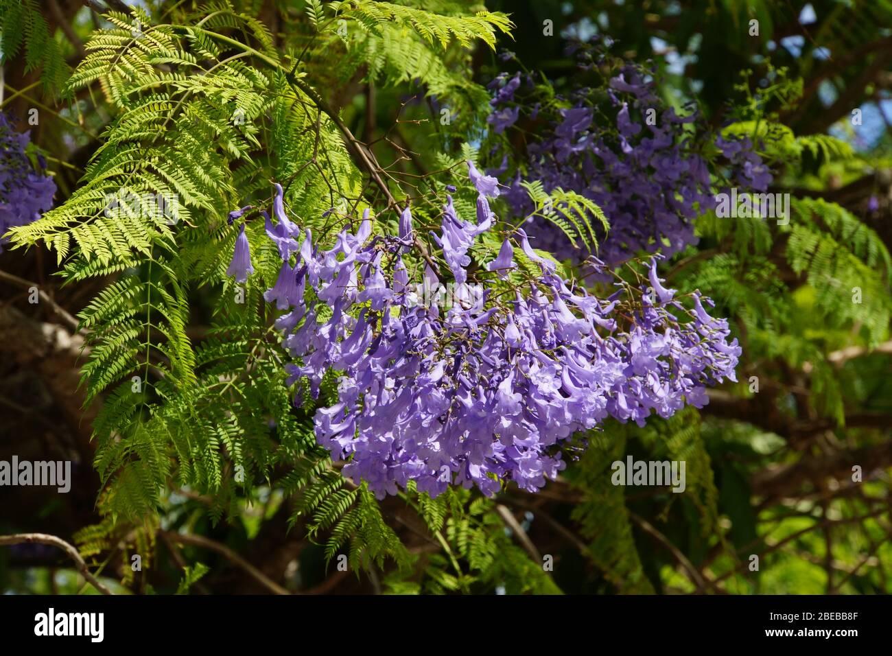 Purple Flowers Of The Jacaranda Tree Stock Photo Alamy