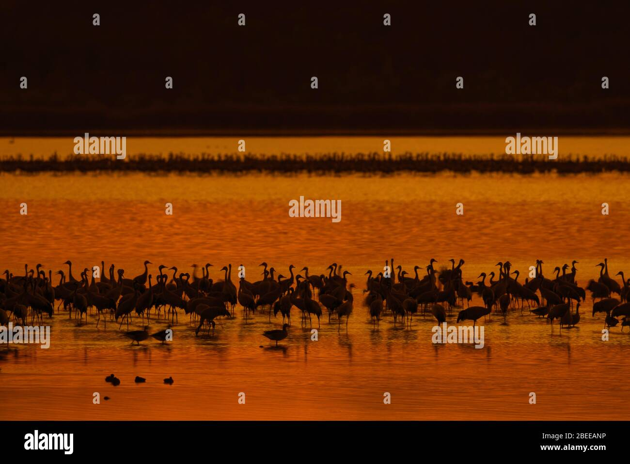 Flock of common cranes / Eurasian crane (Grus grus) group resting in shallow water, silhouetted at sunset in autumn / fall Stock Photo