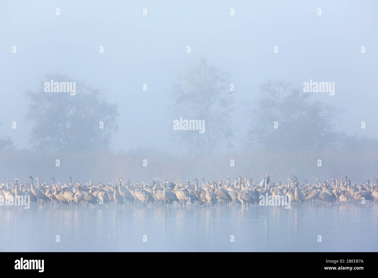 Flock of common cranes / Eurasian crane (Grus grus) group resting in shallow water during dense early morning mist in autumn / fall Stock Photo
