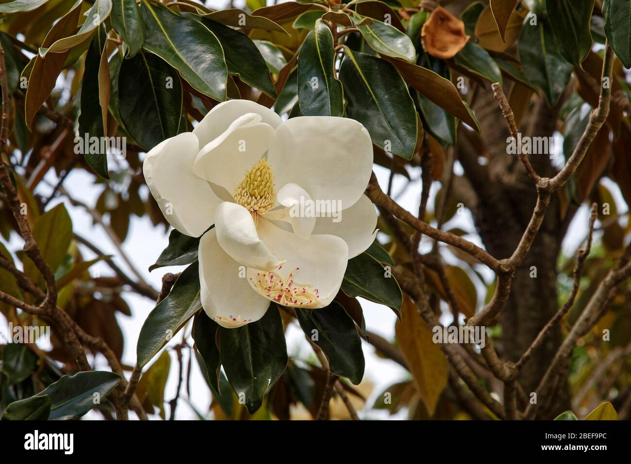 MAGNOLIA BLOSSOM GATHERING IN THE SOUTH ANTIQUE FLOWERS