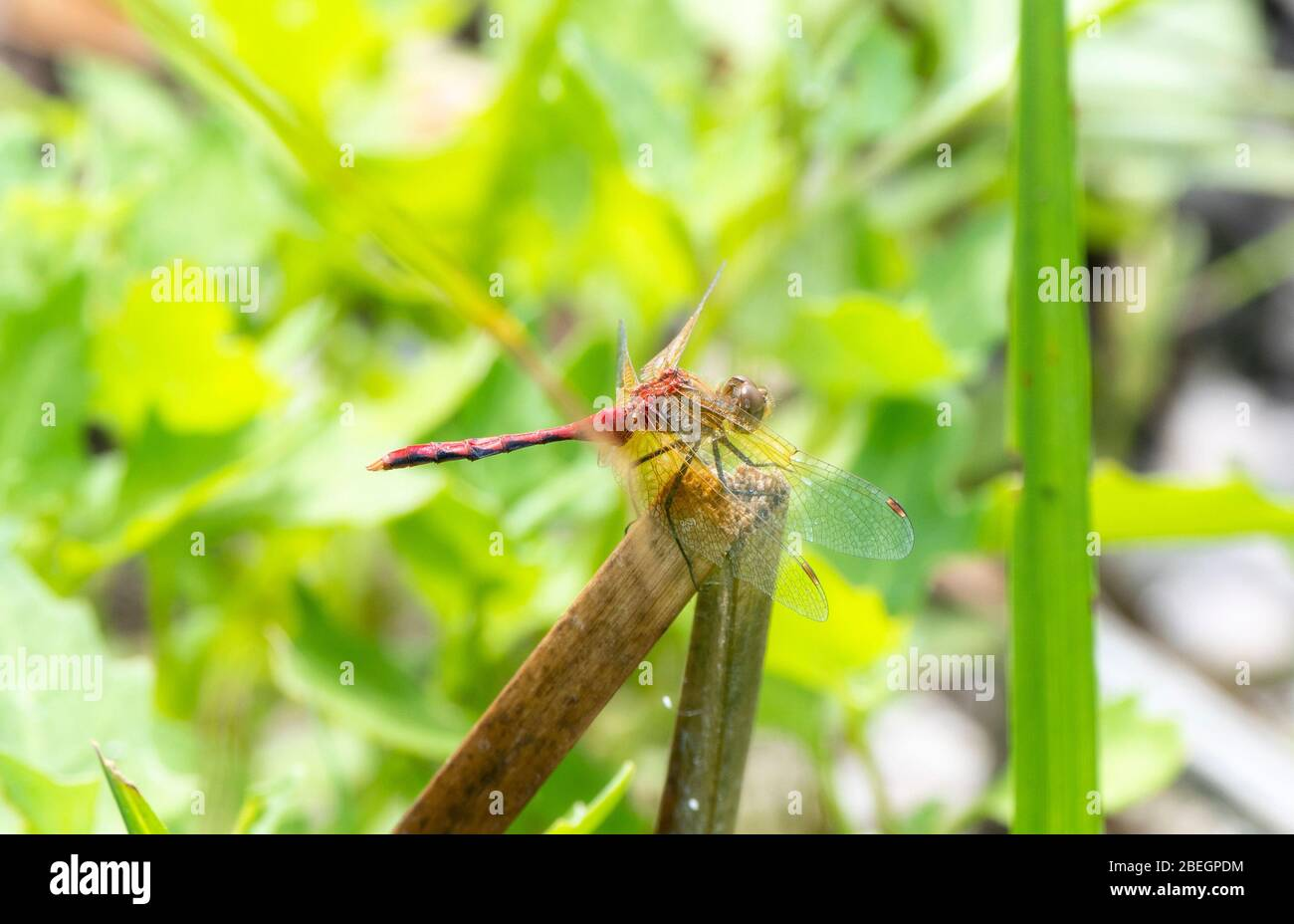 Ruby Meadowhawk Dragonfly (Sympetrum rubicundulum) Perched on a Vegetation in Eastern Colorado Stock Photo