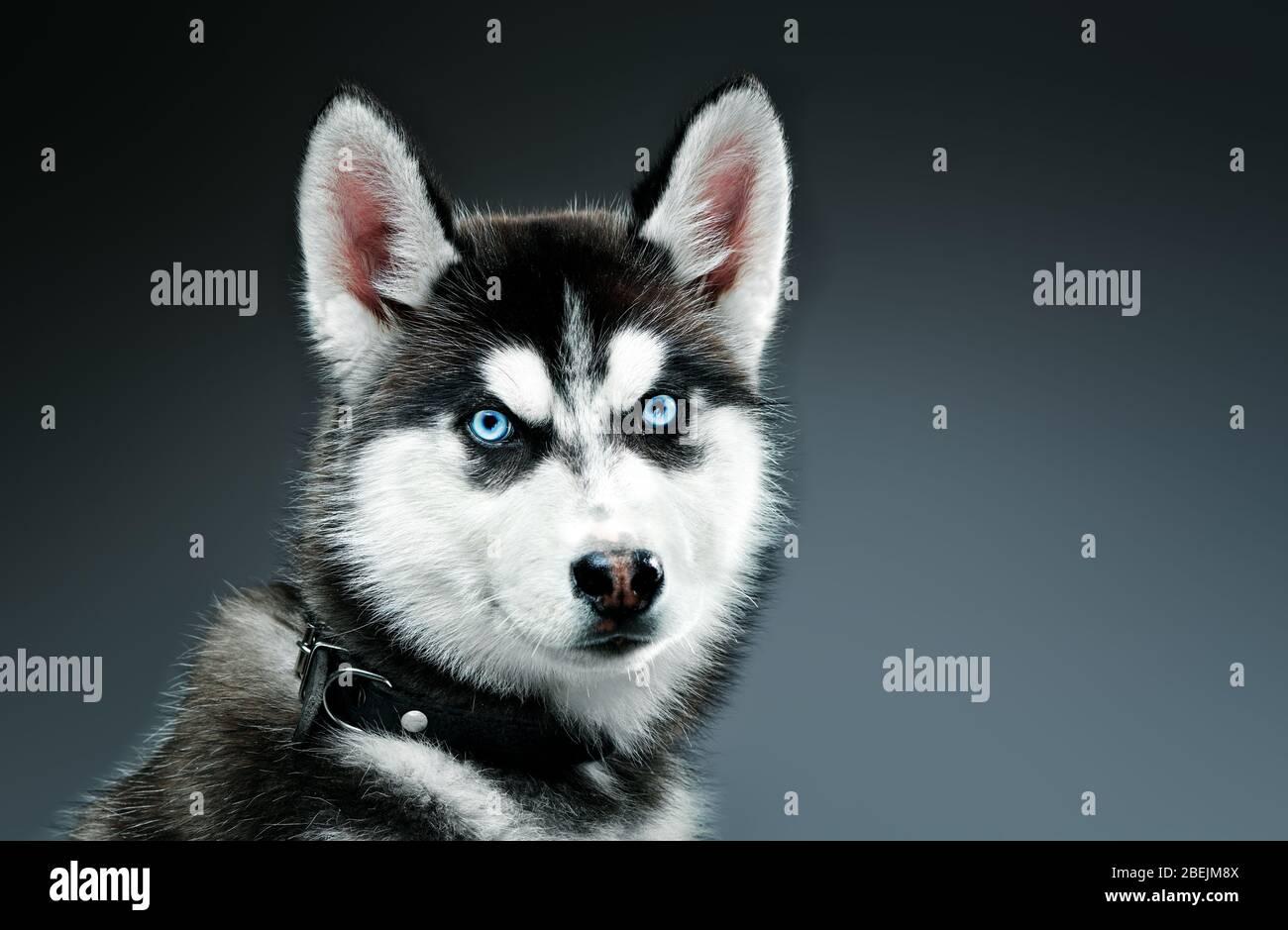 portrait of siberian husky in studio. Close-up shot. Stock Photo