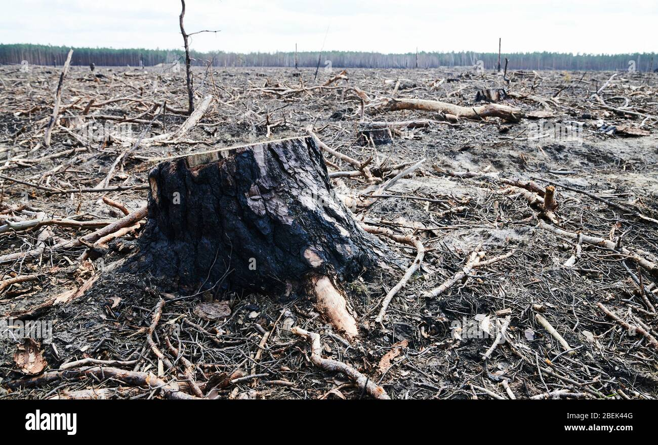 04 April 2020, Brandenburg, Märtensmühle: A sawn-off tree stump rises from the forest floor in Nuthe-Nieplitz between Märtensmühle and Hennickendorf. Here, large areas of forest were burnt down in 2019. Today, reforestation is slowly taking place again. Photo: Annette Riedl/dpa-Zentralbild/ZB Stock Photo