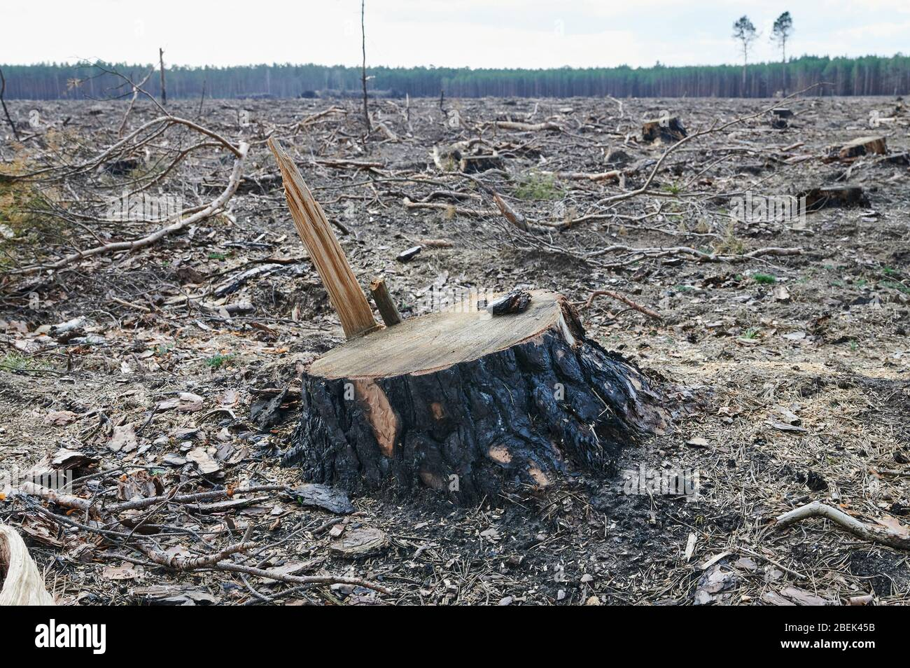 04 April 2020, Brandenburg, Märtensmühle: Many sawn-off tree stumps protrude from the forest floor in Nuthe-Nieplitz between Märtensmühle and Hennickendorf. Here large areas of forest have been burned down in 2019. Today, reforestation is slowly taking place again. Photo: Annette Riedl/dpa-Zentralbild/ZB Stock Photo