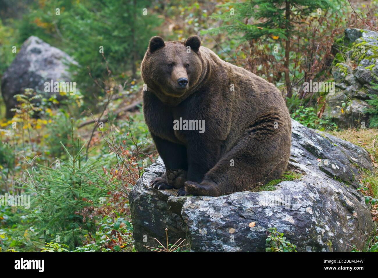 European brown bear (Ursus arctos arctos) at the Tierfreigelände, animal park in the Bavarian Forest National Park, Neuschönau, Lower Bavaria, Germany Stock Photo