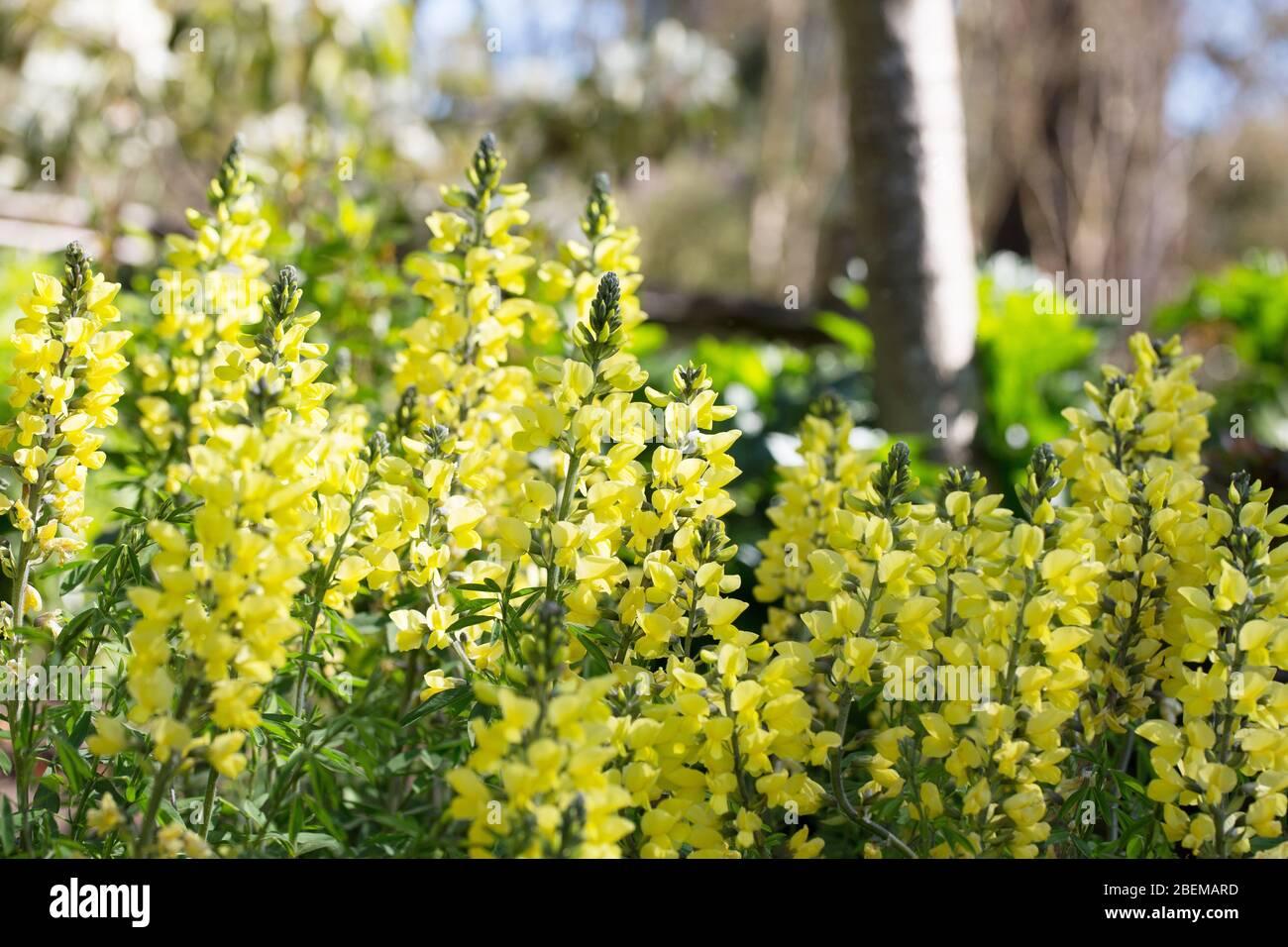 Thermopsis Chinensis Sophia Stock Photo 353260081 Alamy