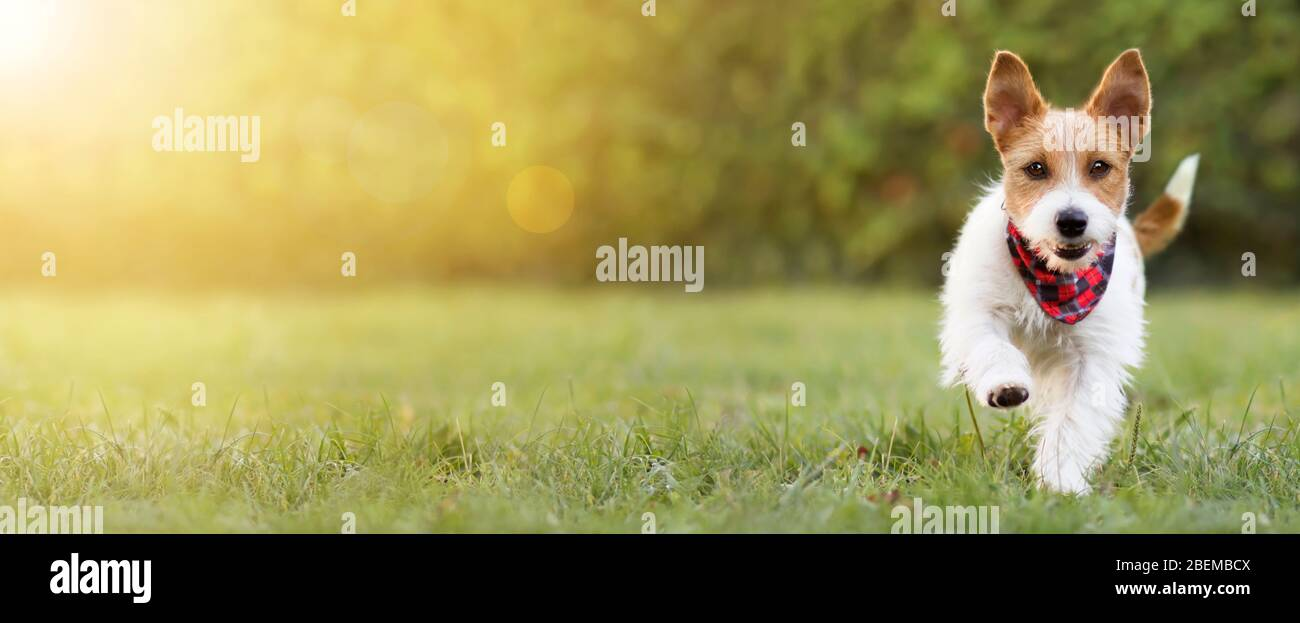 Playful Happy Smiling Funny Cute Pet Dog Puppy Walking In The Grass Summer Concept Web Banner Copy Space Stock Photo Alamy