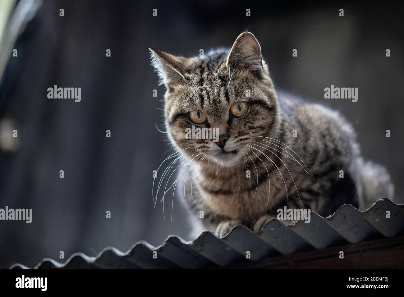 Gray and black stripped stray tabby cat perched on a tin metal roof in Kyoto Japan Stock Photo