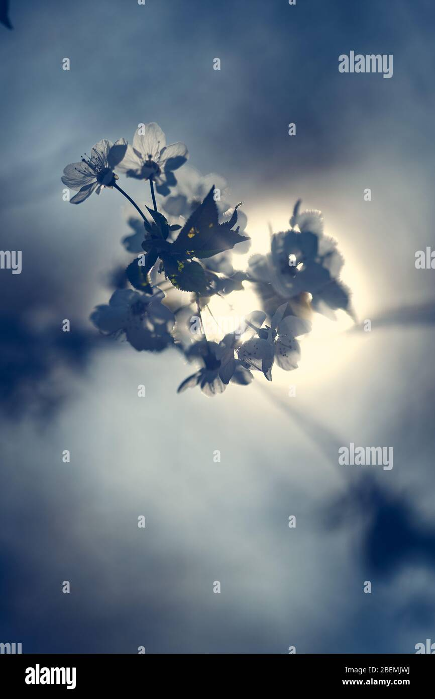 White dreamy fruit tree blooming period on a tree in front of the sun with a beautiful bokeh Stock Photo