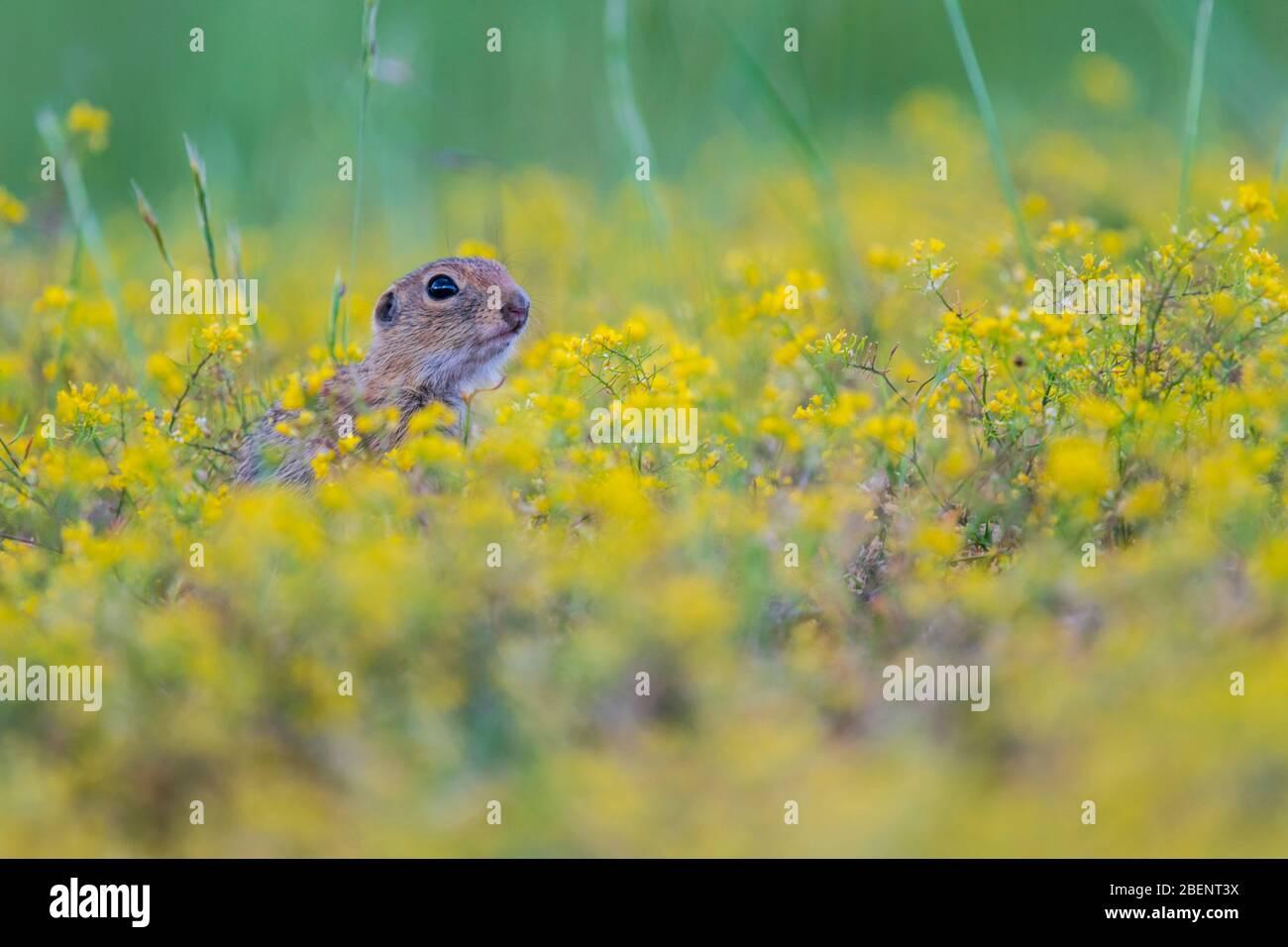A wild European Souslik on the ground , Bulgaria Stock Photo