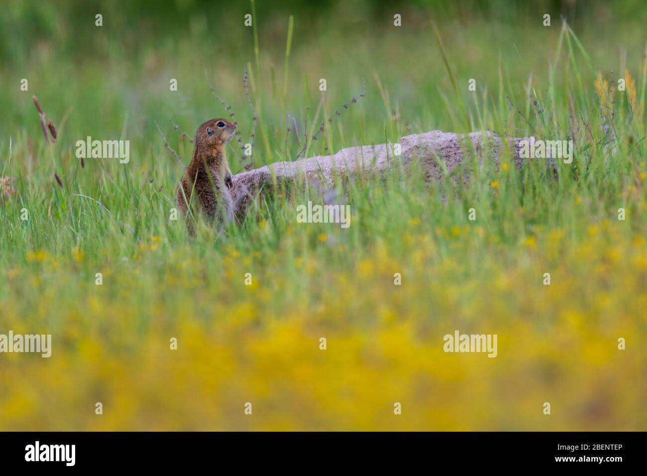 A wild European Souslik on the ground , Bulgaria Stock Photo