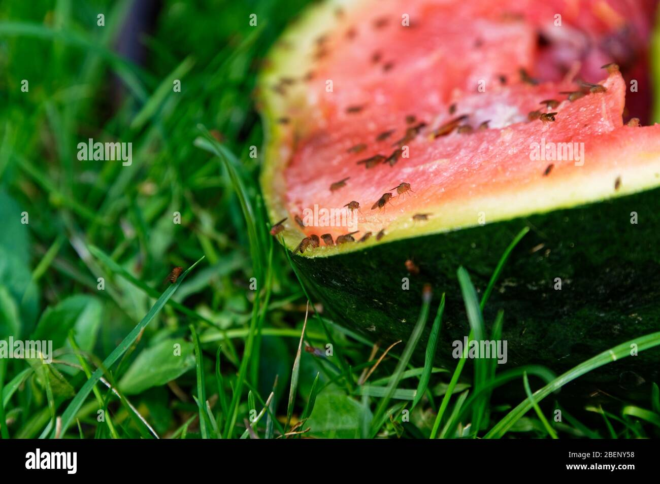 Fruit flies have discovered a fest in this discarded watermelon lying on the lawn Stock Photo