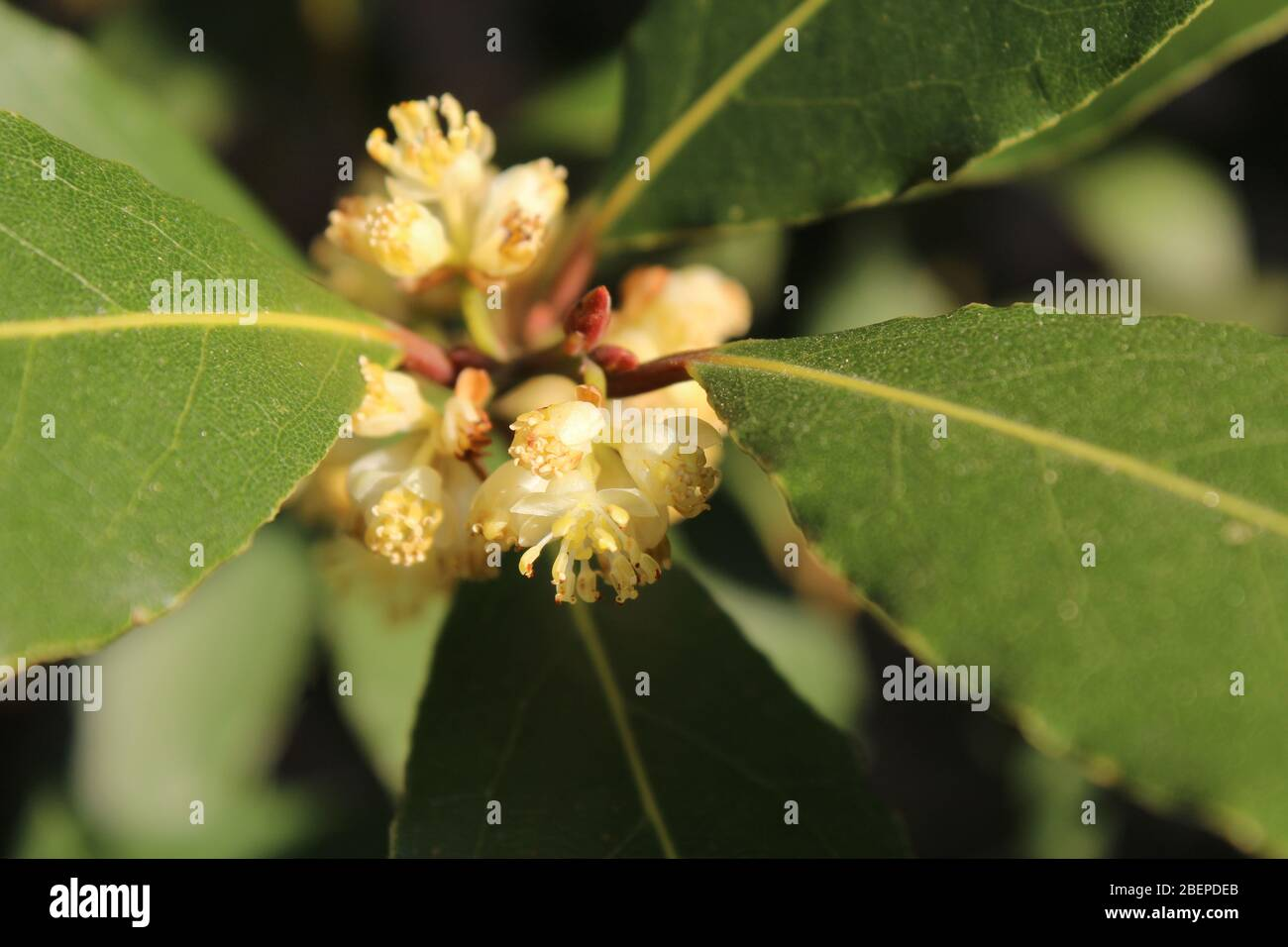 Bay Laurel Stock Photos Bay Laurel Stock Images Alamy