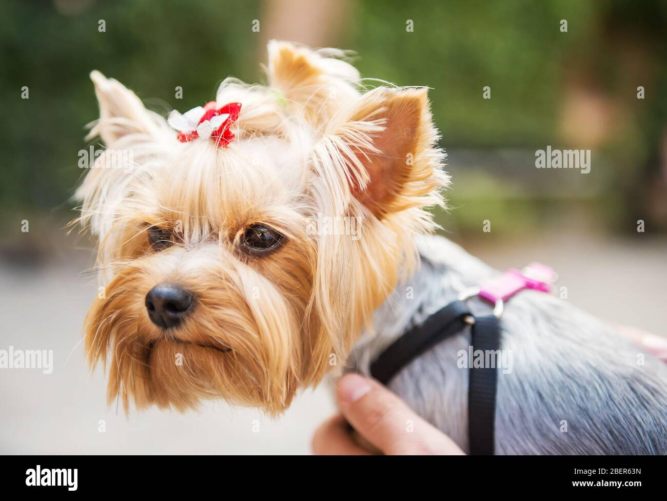 Page 2 Biewer High Resolution Stock Photography And Images Alamy