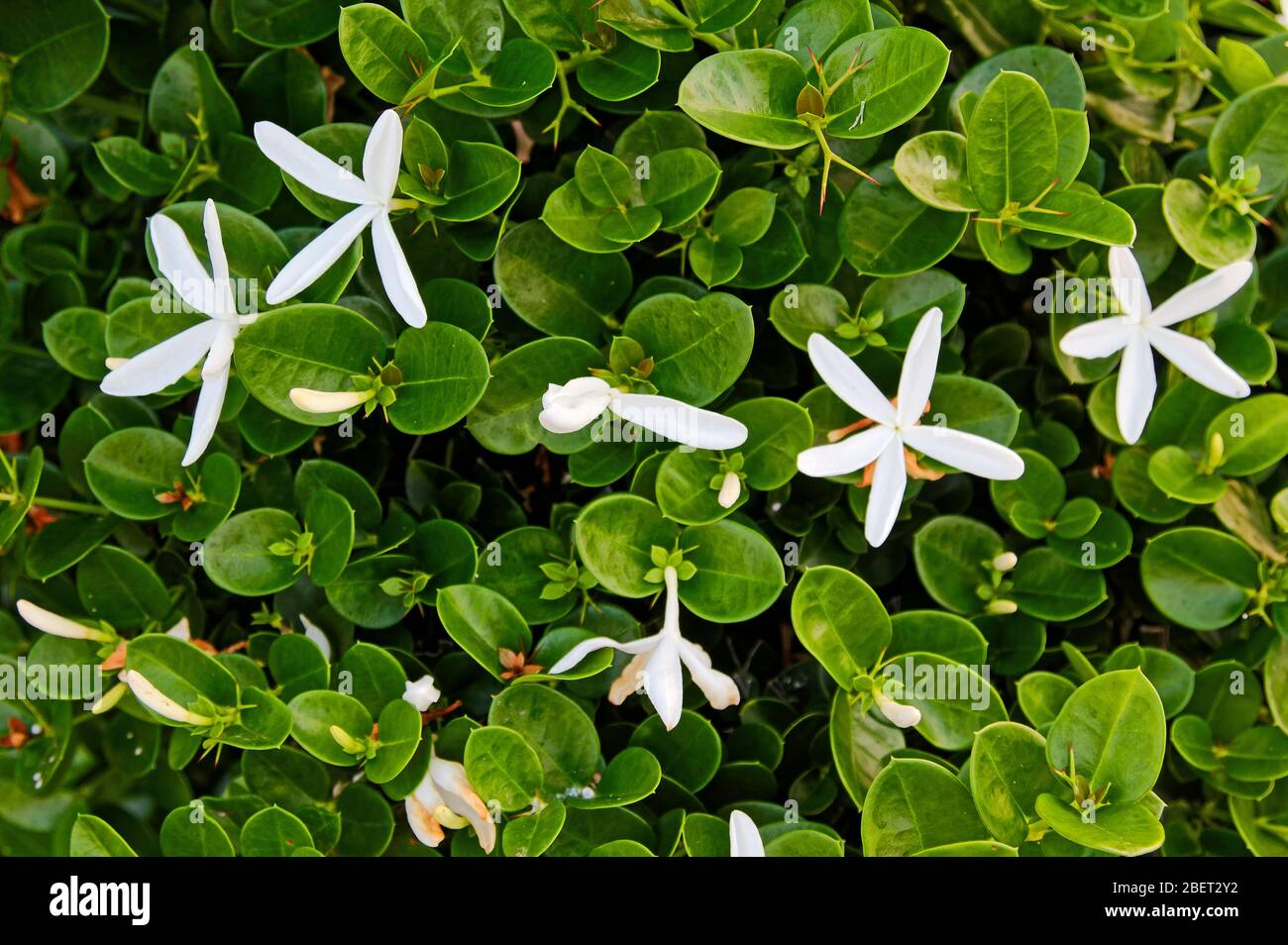 Carissa Macrocarpa Natal Plum Small Shrub Starry White Flowers