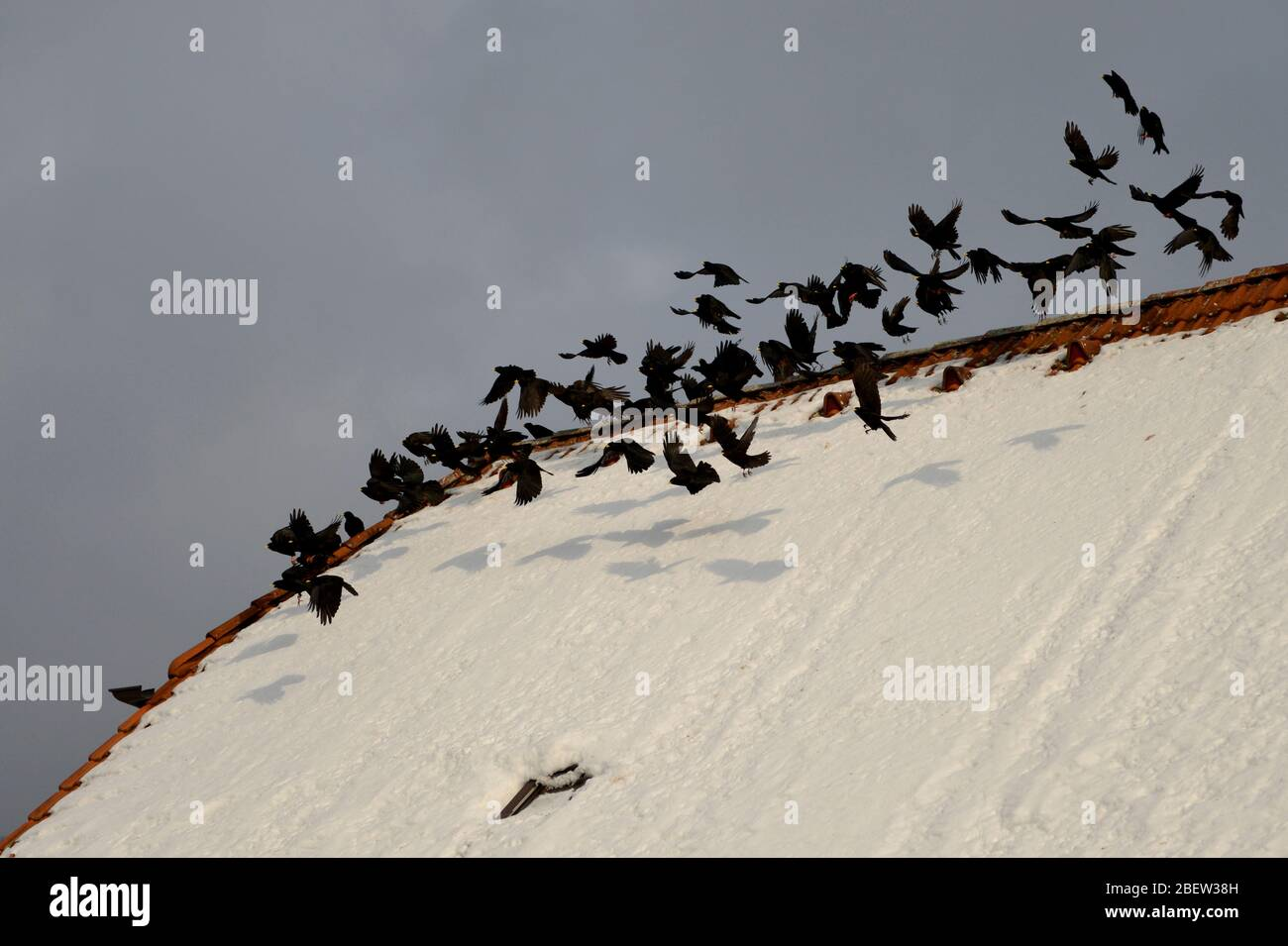 DOHLEN . PYRRHOCORAX  . CHOUGH Stock Photo
