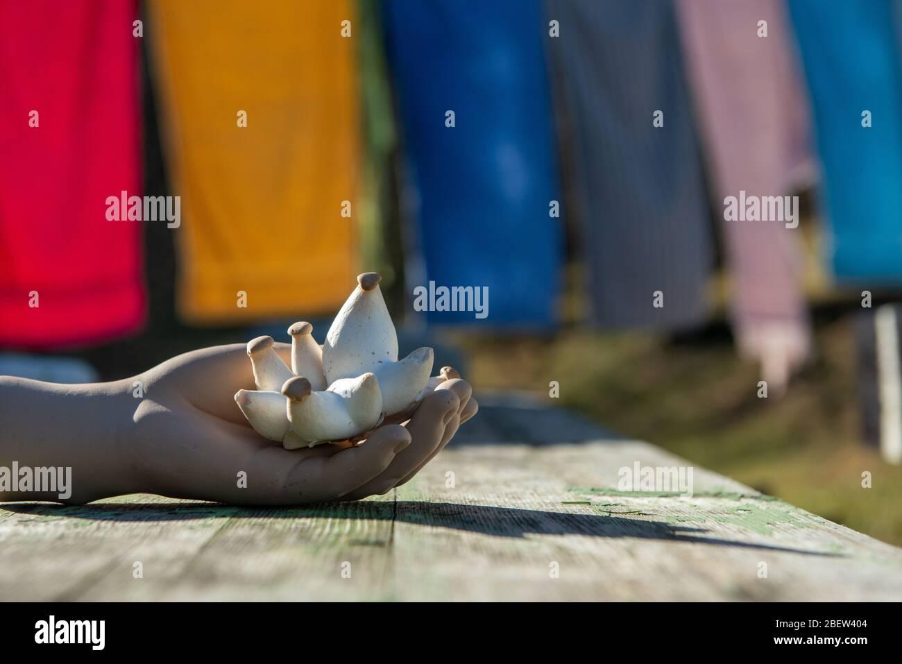 PILZE  .  SEITLINGE . OYSTER MUSHROOMS Stock Photo