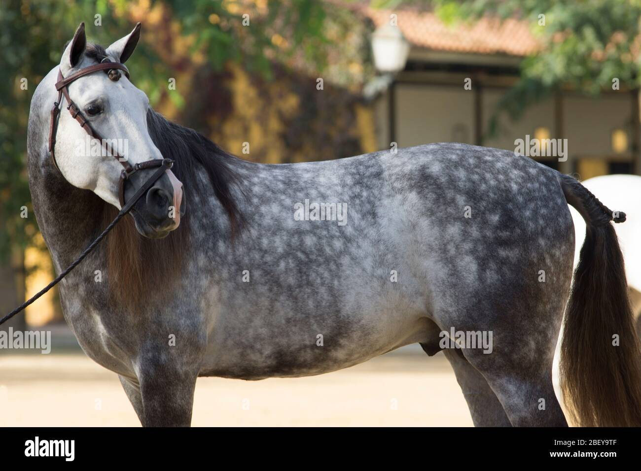 Page 2 Dapple Horse High Resolution Stock Photography And Images Alamy