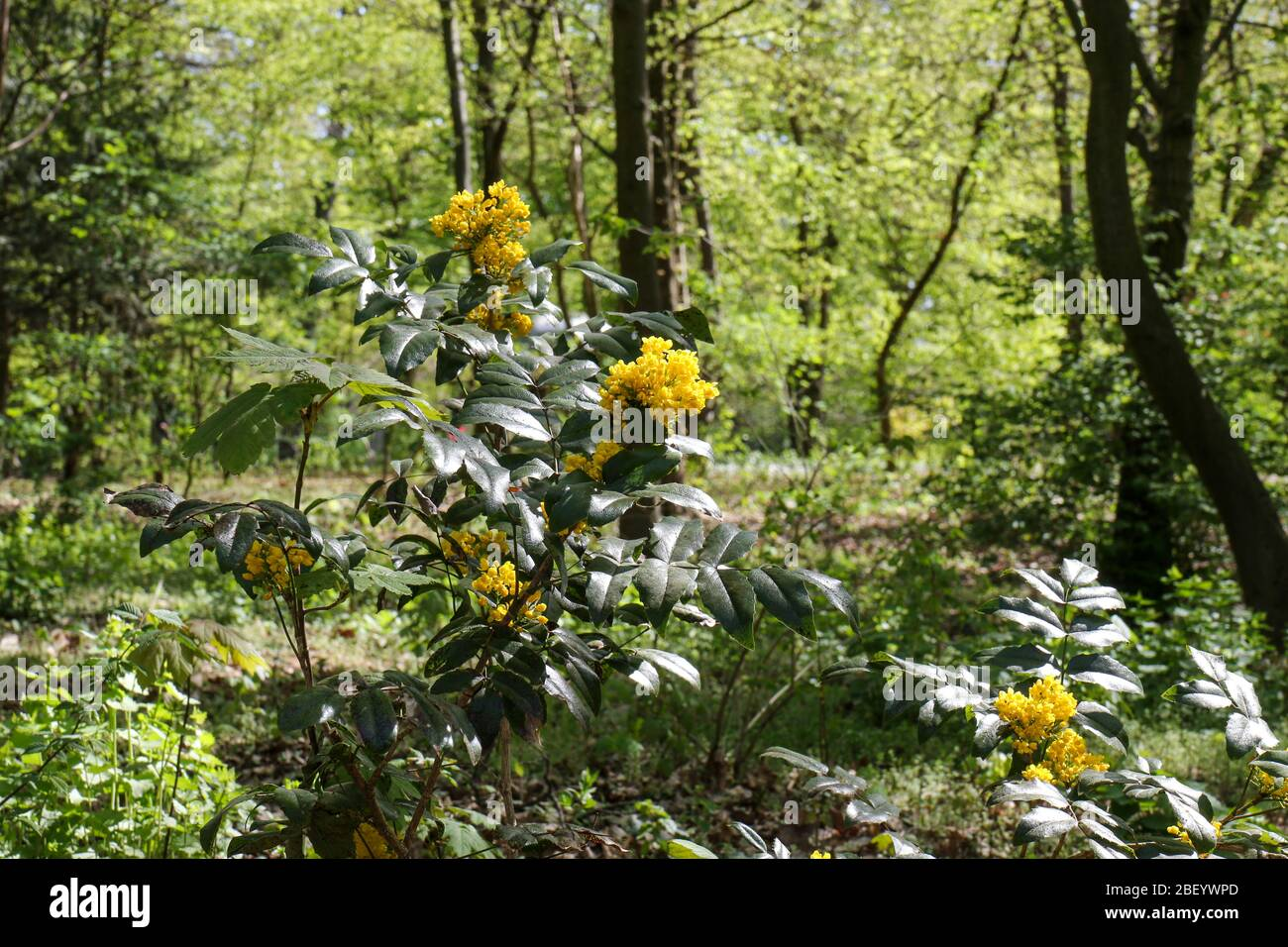 Yellow blooming Mahonia aquifolium, the Oregon grape, on a sunny spring day in a park in Berlin. It's an evergreen shrub, in the family Berberidaceae. Stock Photo