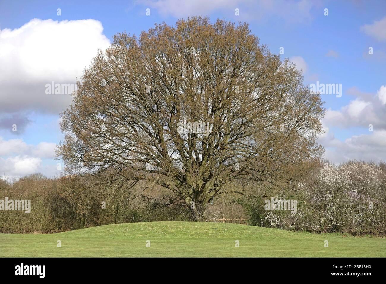 Spring Sunshine In Rural Landscape English Deciduous Hardwood Oak