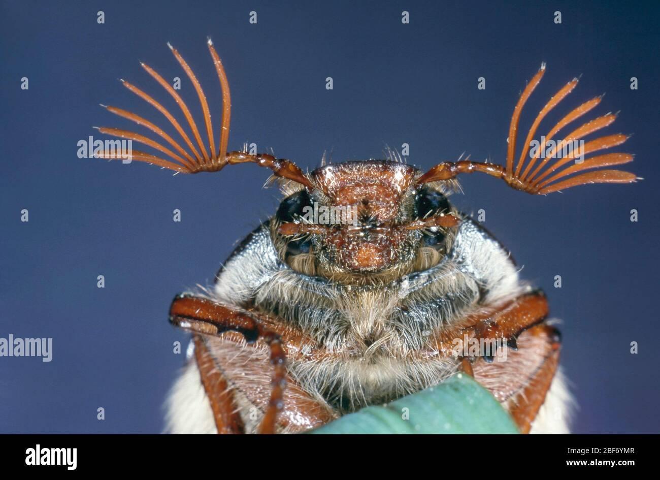 Common cockchafer, Maybug, Maybeetle (Melolontha melolontha), male Stock Photo