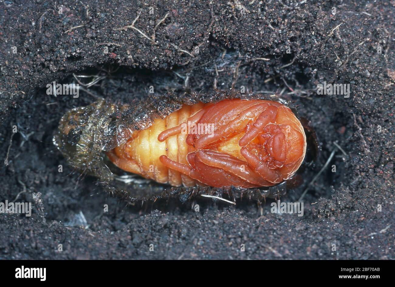 Common cockchafer, Maybug, Maybeetle (Melolontha melolontha), pupa digged in the ground Stock Photo